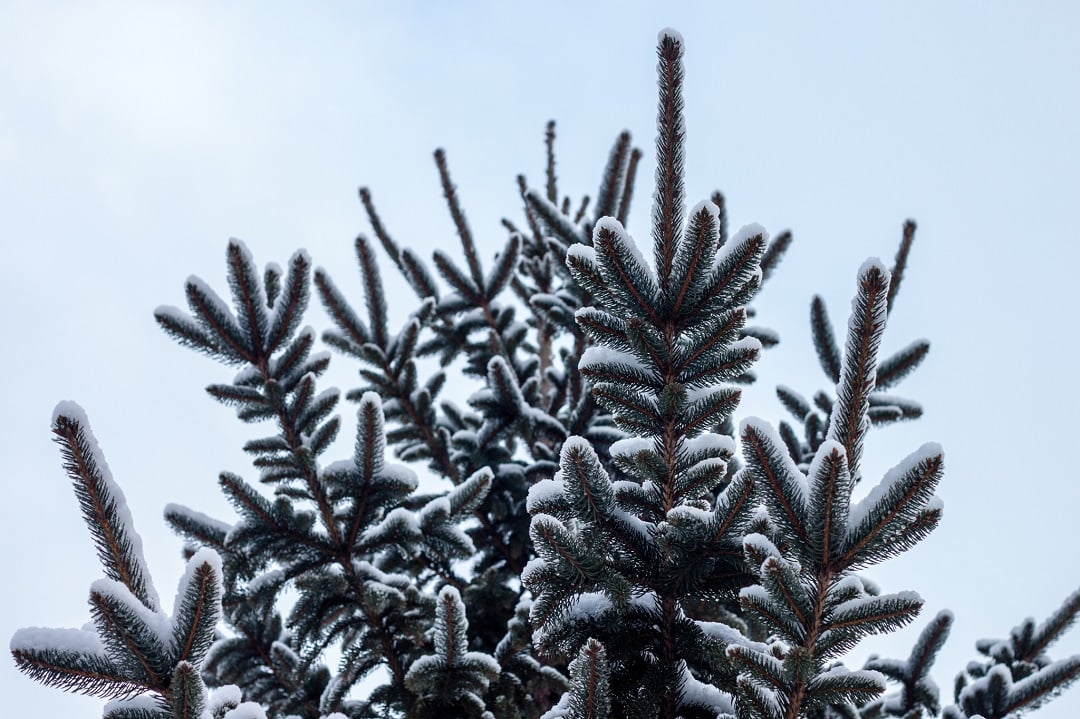 winter - rash-pine-tree-snow-cold